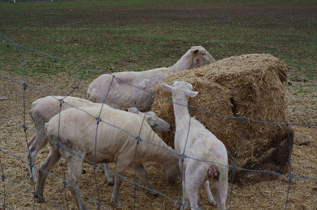 服部牧場 羊