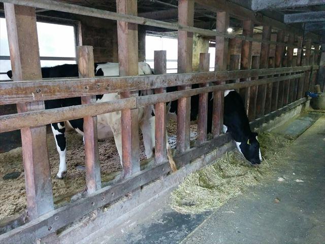 服部牧場 牛舎