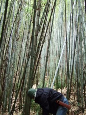 竹藪で竹を切る
