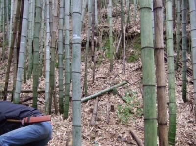 若い竹と年老いた竹